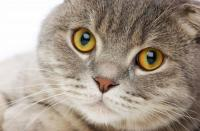Foto Asma bronchiale nel Gatto: cosa fare