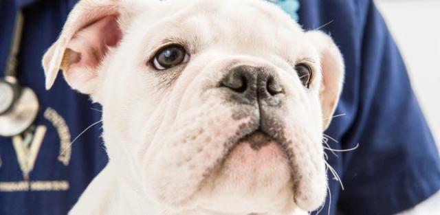 Foto Falsi miti della sterilizzazione del Cane