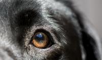 Foto Il cane ha l'occhio secco: sintomi e cure