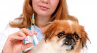 Foto Sintomi e trattamento del cane diabetico