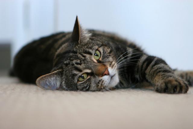 Foto Il gatto dimagrisce? Possibili cause