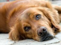 Foto Il Cane ha la colite? Le cause