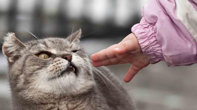 Foto Rogna nel Gatto (scabbia felina)