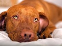 Foto Ipoglicemia nel Cane: sintomi e cure