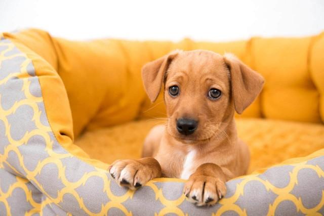 amoxicillina per cane con infezione della prostata