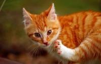 Foto Cancro alla pelle nel Gatto