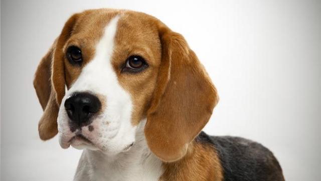 Foto Beagle: caratteristiche e carattere