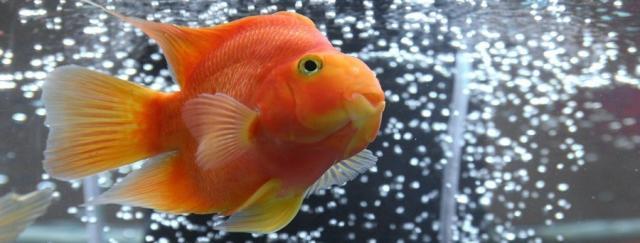 Foto Poco ossigeno nell'aquario può essere pericoloso