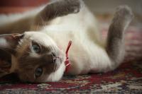 Foto Tumore alla mammella nel Gatto: sintomi e cure