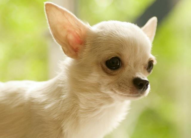 Foto Chihuahua: caratteristiche e carattere