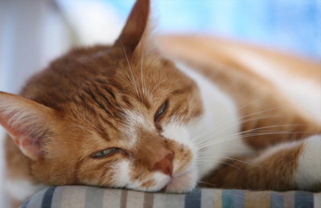 Foto Versamento pleurico nel Gatto: cause e cure
