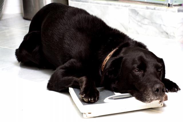 Foto Il Cane è sovrappeso? Alcuni consigli