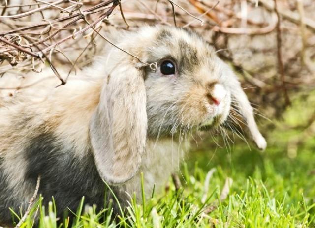 Foto Palle di pelo (tricobezoari) nel Coniglio