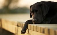 cane malato di leucemia