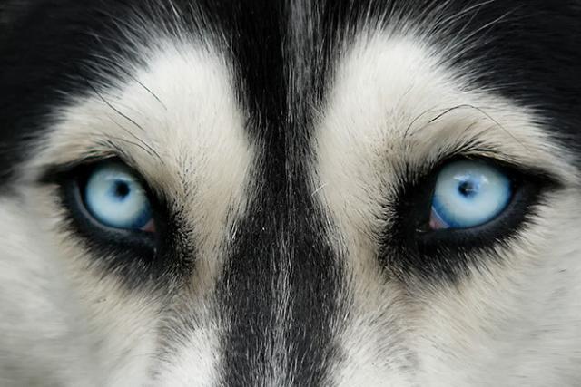 Foto Il cane ha il glaucoma: sintomi e cure