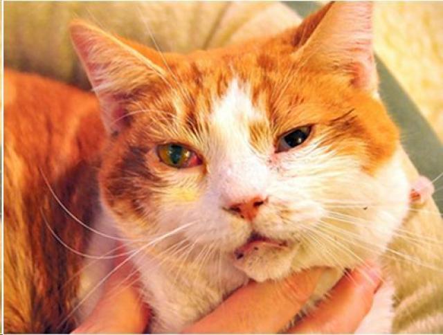 Foto Cosa bisogna fare se il vostro Gatto lacrima? Cause e rimedi.
