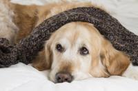 Foto Uretrite nel Cane: sintomi e cura