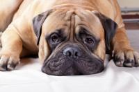 Foto Tumore al testicolo nel Cane: cause, sintomi e trattamento