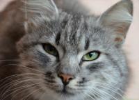 Foto Policitemia nel Gatto: sintomi e cura
