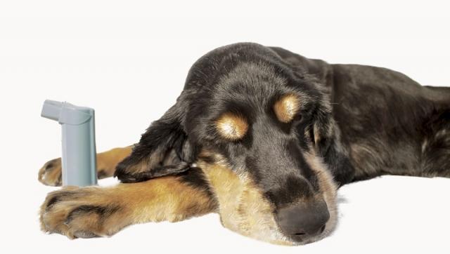 Foto Asma nel Cane: sintomi e cure