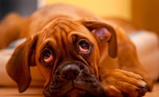 Foto Il tumore alle ghiandole anali nel Cane
