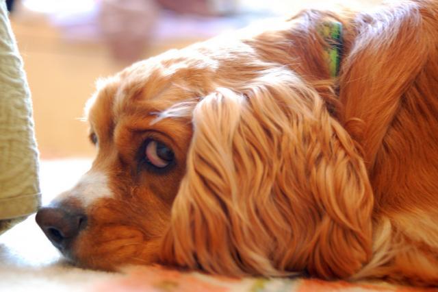 Foto Cosa fare se il Cane è incontinente