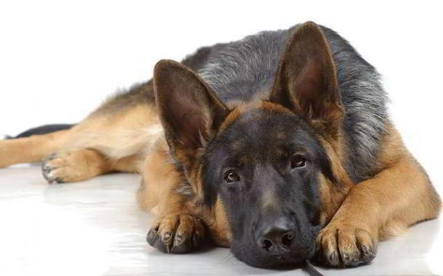 Foto Displasia dell'anca nel Cane: cause, sintomi e trattamento