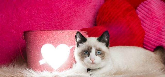 Foto Aritmia cardiaca nel Gatto