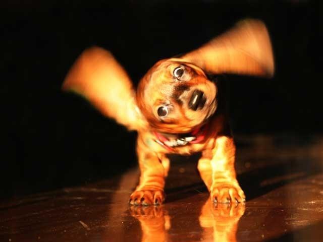Foto Perchè il cane scuote la testa?