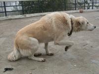 Foto Il comportamento remissivo nel Cane