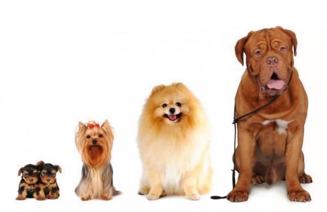 Foto Fino a che età cresce il Cane?