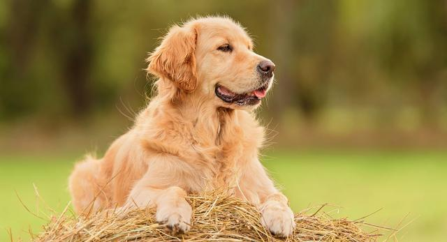 golden retriever bimbi autistici