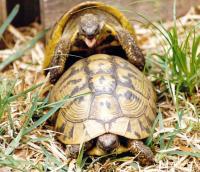 Come si riproducono le tartarughe for Temperatura tartarughe
