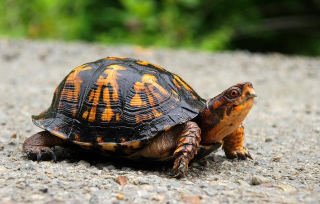 Foto Come sapere se la Tartaruga è incinta