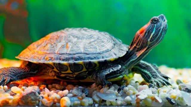 Foto Tartarughe d'acqua dolce
