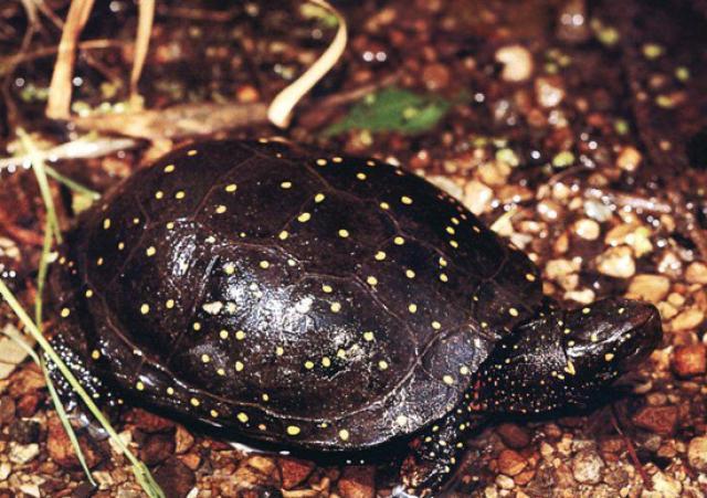 Tartaruga macchiata