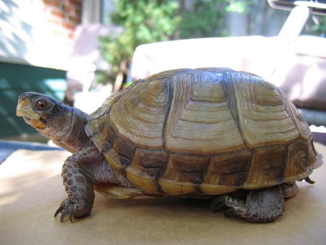Capire se la tartaruga maschio o femmina for Tartaruga di palude