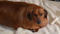 Foto Cane obeso: cosa fare?