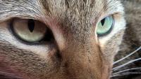 Foto Cataratta nel Gatto: sintomi e cure