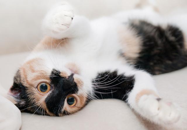 Foto Capire se il Gatto è in calore