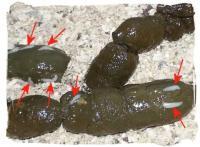 Analisi del sangue su vermi Kazan