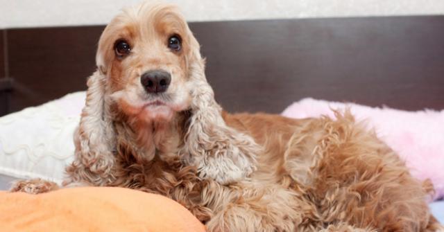 Foto Gravidanza isterica nel Cane: sintomi e trattamento