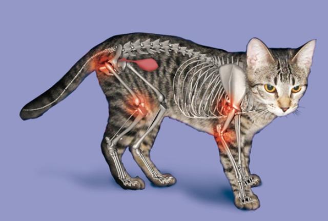 Foto Artrite nel Gatto: sintomi e trattamento