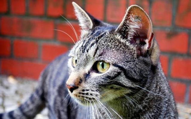 Foto Tumori più comuni nel Gatto