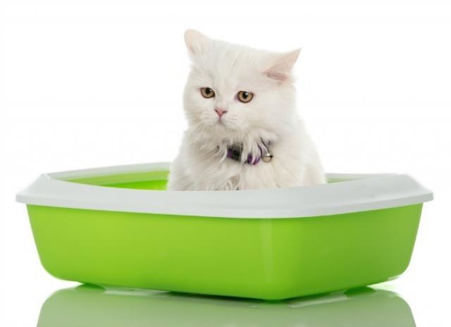 Foto Sangue nelle feci del Gatto: cosa fare?