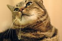Il Gatto sbava: cause e problemi