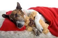 Foto Malattie del fegato nel Cane