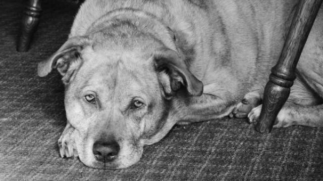 Foto Demenza senile nei Cani: sintomi e trattamento