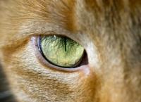 Foto Infiammazione agli occhi del Gatto