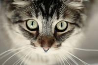 Foto Il glaucoma nel Gatto: cause e trattamento